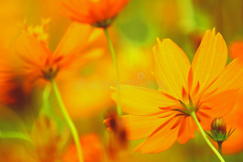 Cosmos anaranjado fotos de archivo libres de regalías