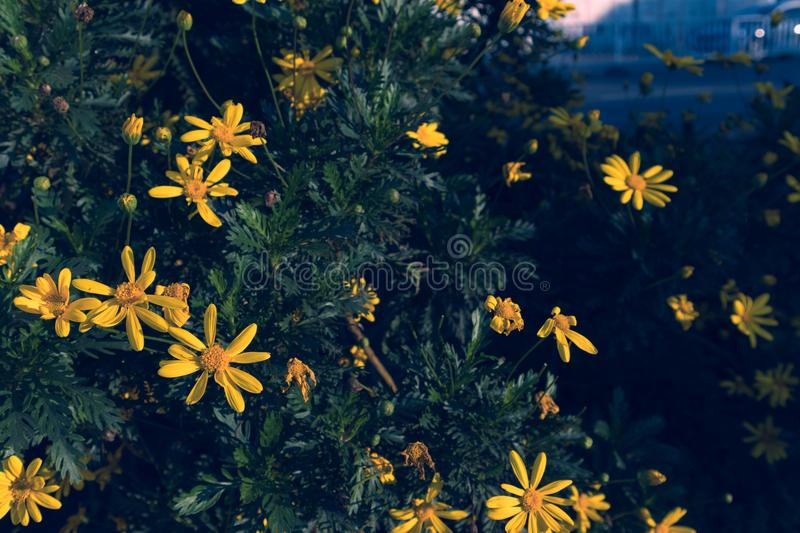 On the roadside wild calliopsis stock images