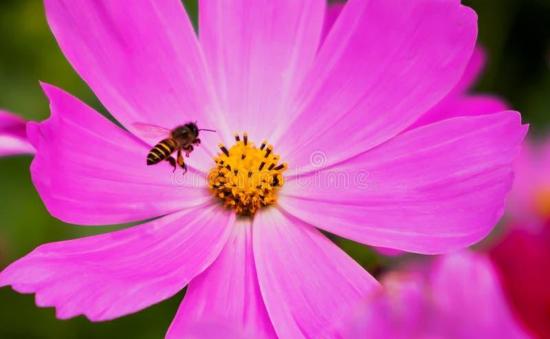 Cosmos avec l'abeille images libres de droits