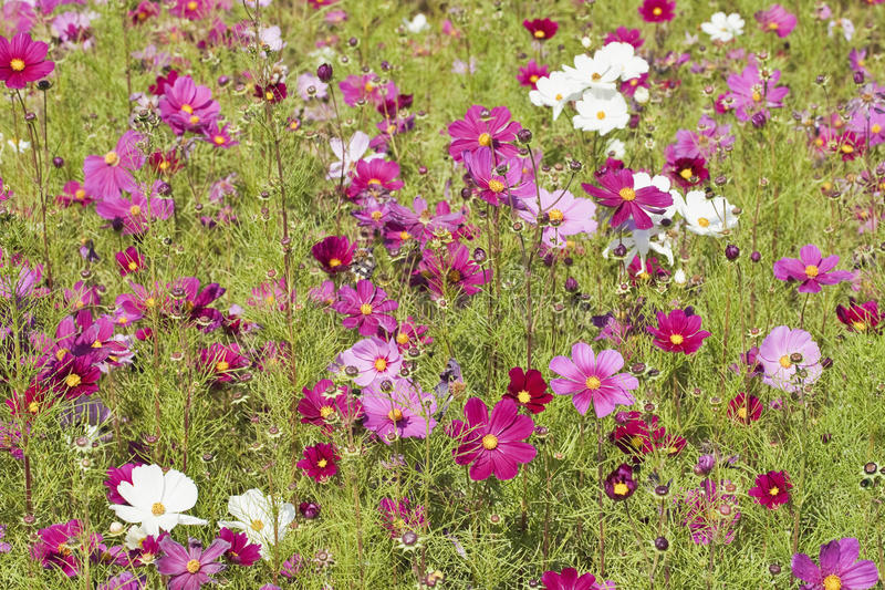 Cosmos bipinnatus, commonly called Mexican aster stock photos