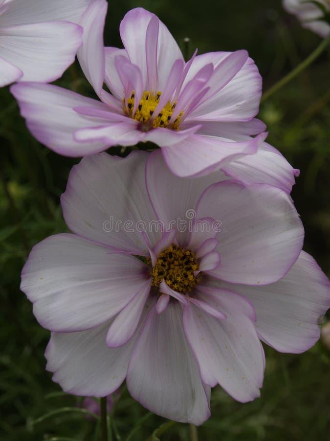 Cosmos bipinnatus Cosimo Collarette 04. Cosmos bipinnatus Cosimo Collarette Close-up stock photo