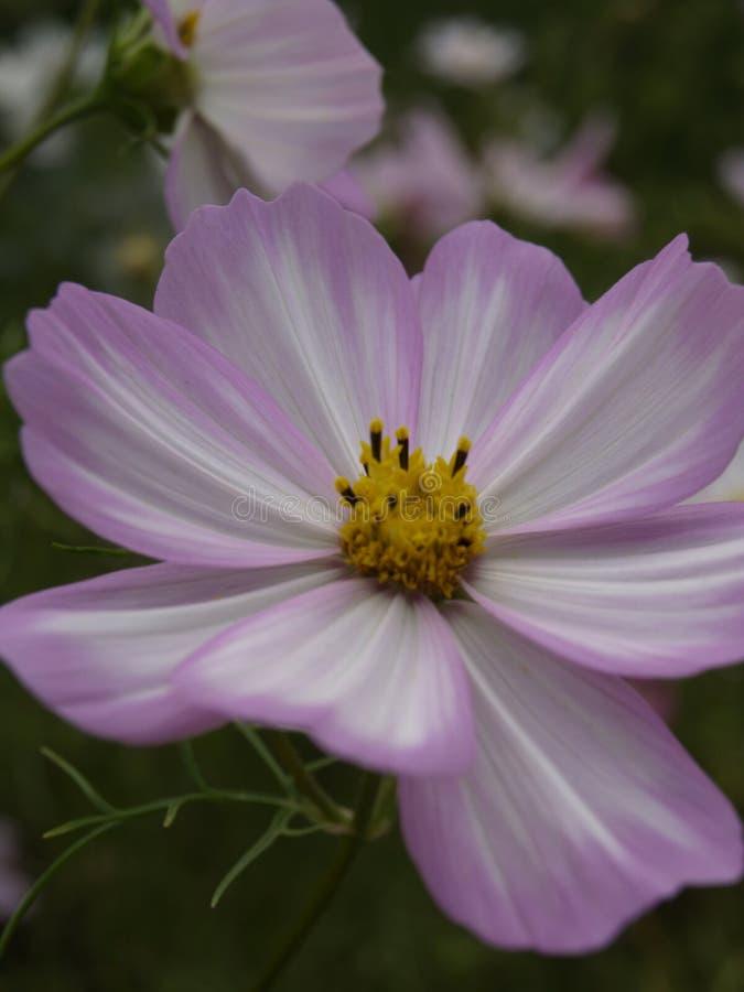 Cosmos bipinnatus Cosimo Pink-White 03. Cosmos bipinnatus Cosimo Pink-White Close-up royalty free stock image