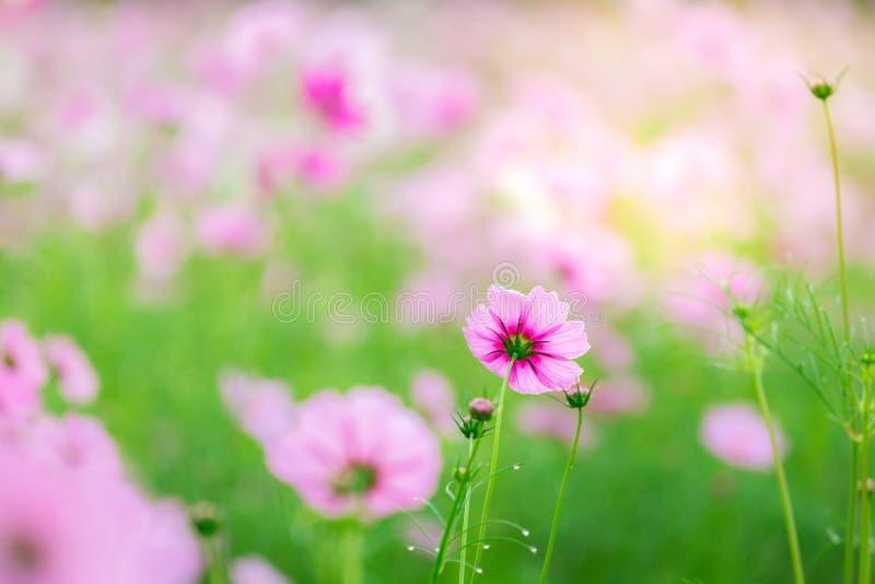 Cosmos bipinnatus del fiore dell'universo fotografie stock