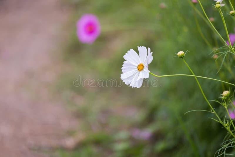 Cosmos bipinnatus del fiore dell'universo immagini stock libere da diritti