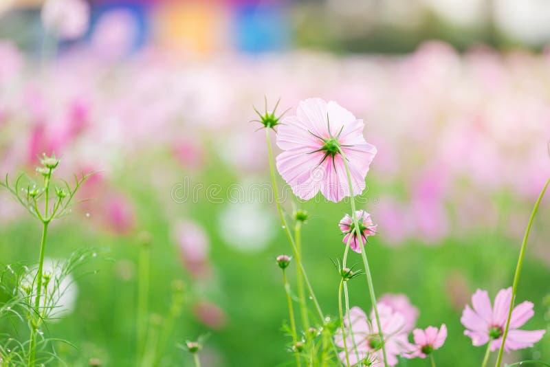 Cosmos bipinnatus del fiore dell'universo immagini stock
