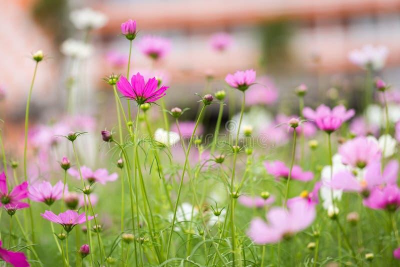 Cosmos bipinnatus del fiore dell'universo fotografia stock libera da diritti