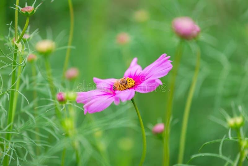 Cosmos bipinnatus del fiore dell'universo fotografie stock libere da diritti