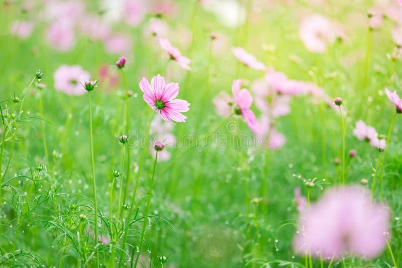 Cosmos bipinnatus del fiore dell'universo immagine stock