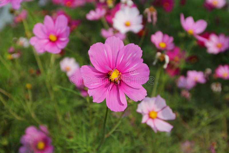 Cosmos bipinnatus royalty free stock photography