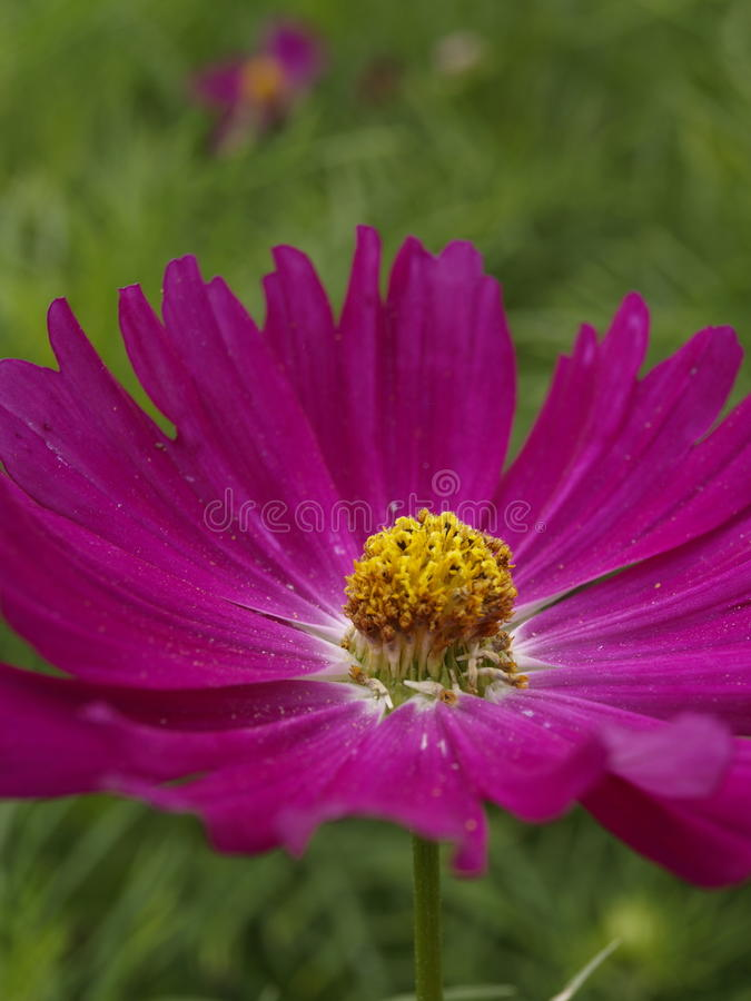 Cosmos bipinnatus Hot Pink royalty free stock image