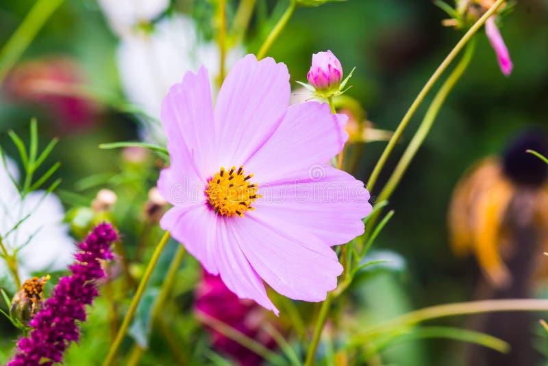 Cosmos bipinnatus fotografia stock