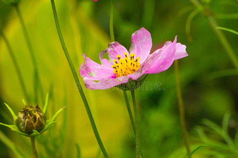 Cosmos bipinnatus, a pink flower against green background stock photos
