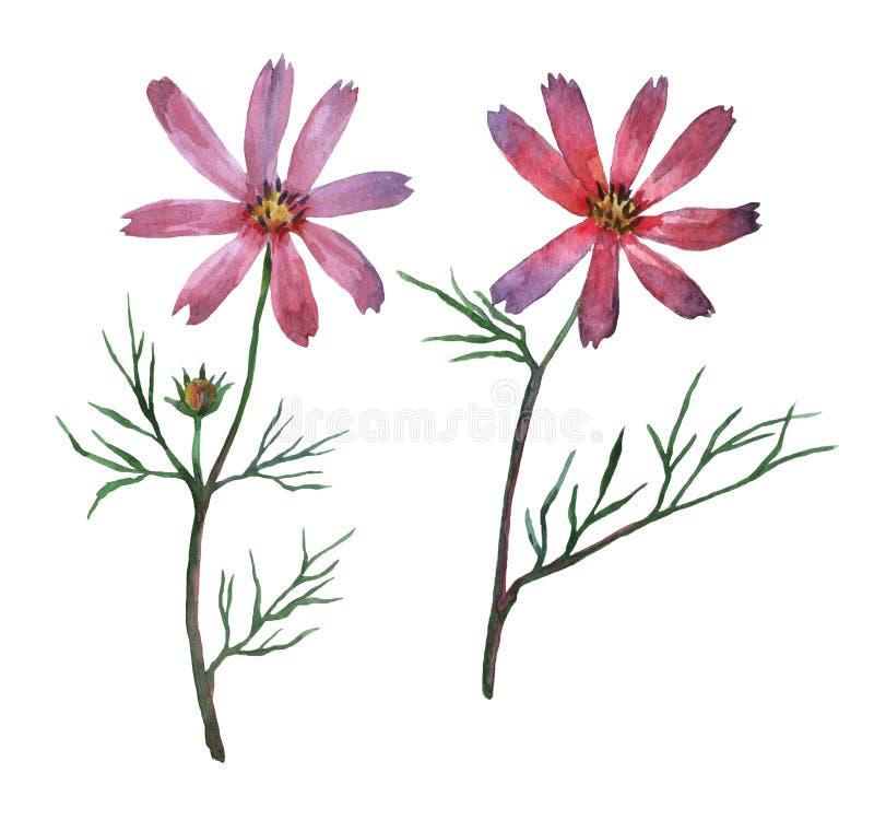 Cosmos bipinnatus rosa, comunemente chiamato l'universo del giardino o l'aster del messicano illustrazione di stock