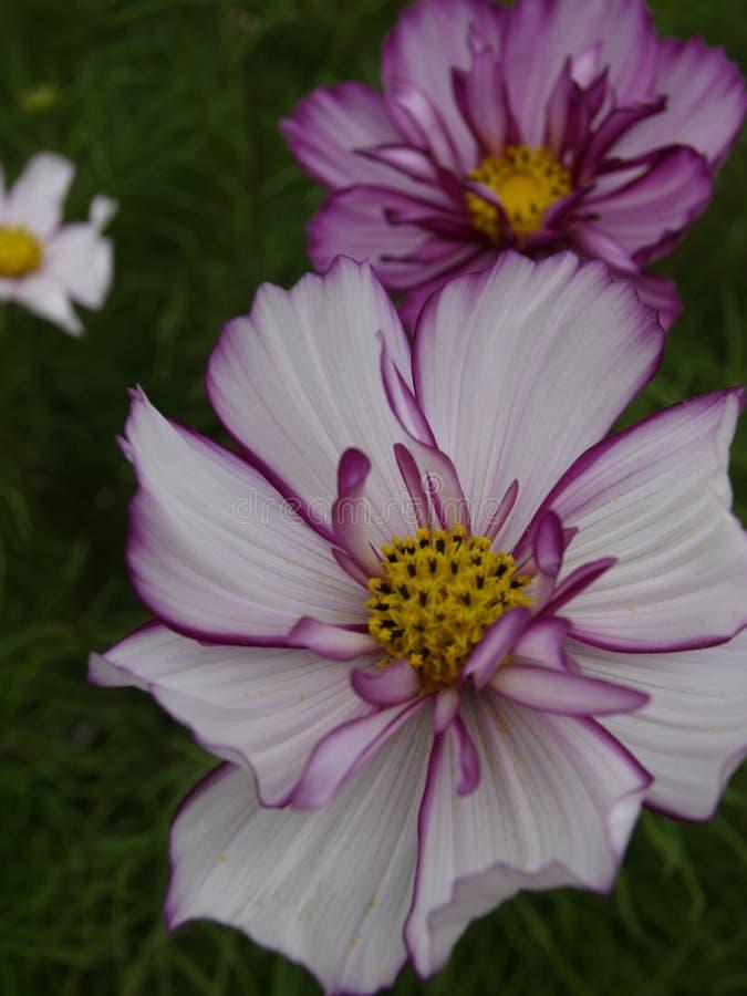 Cosmos bipinnatus Rose Picotee gassate 03 immagini stock libere da diritti