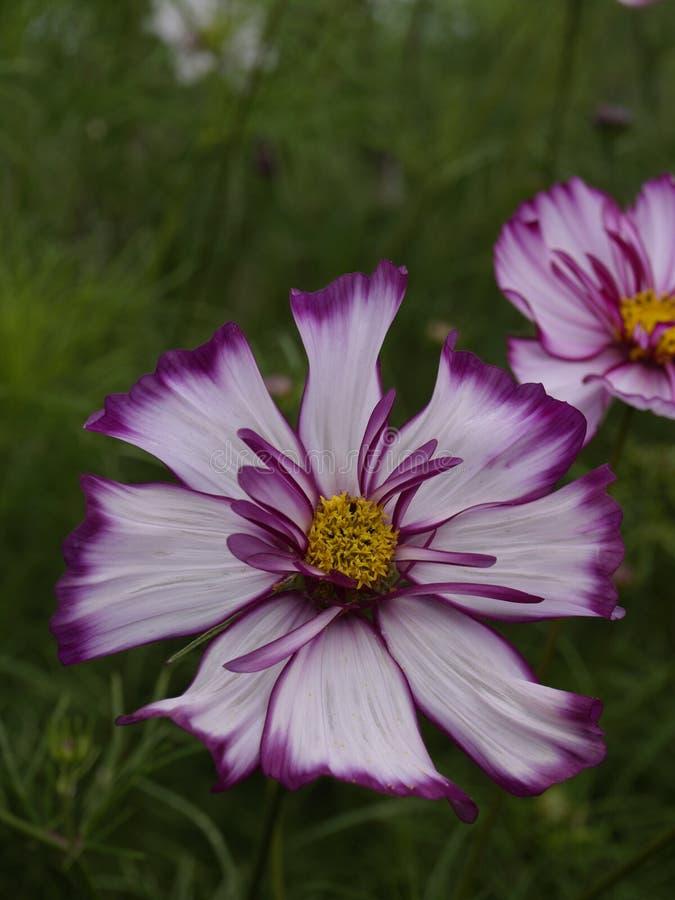 Cosmos bipinnatus Rose Picotee gassate 01 immagini stock