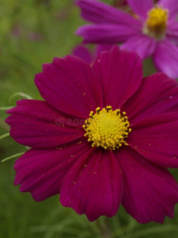 Cosmos bipinnatus Sensation Dazzler 06 stock photography