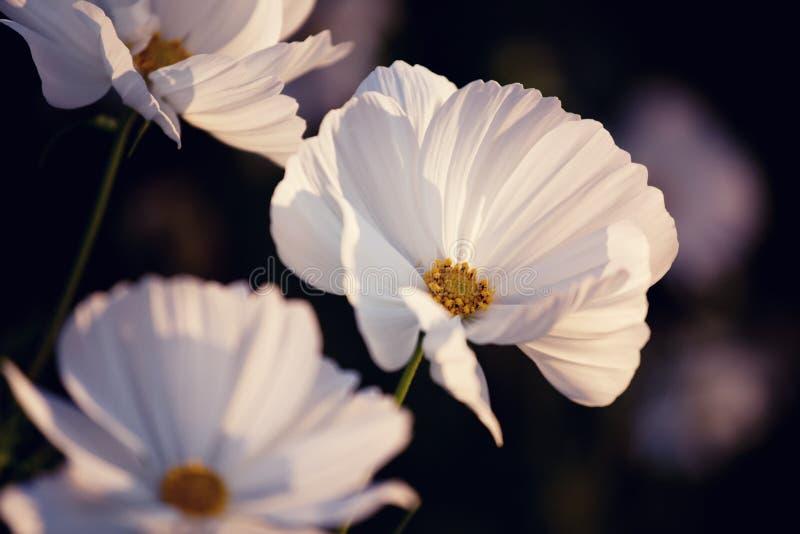 Cosmos blanc photos libres de droits