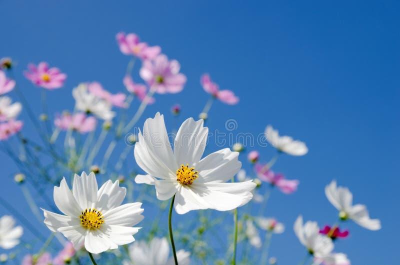 Cosmos blanc et rose photos libres de droits