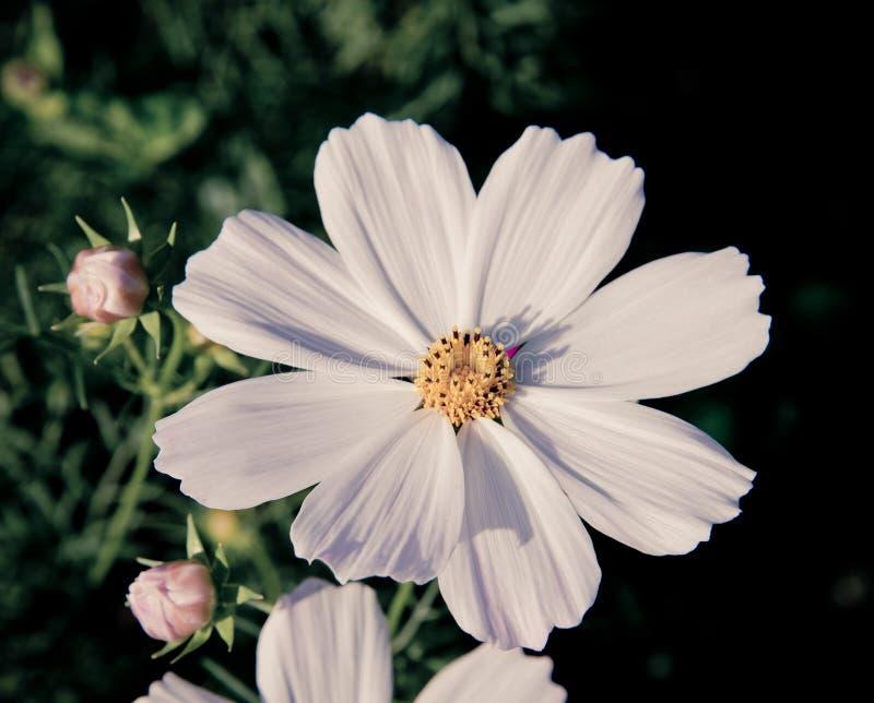 Cosmos blanco fotografía de archivo
