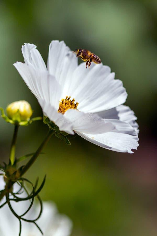 Cosmos blanco y Honey Bee abive foto de archivo libre de regalías