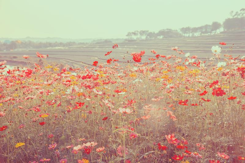 Cosmos bonito floral no chá arquivado imagens de stock royalty free