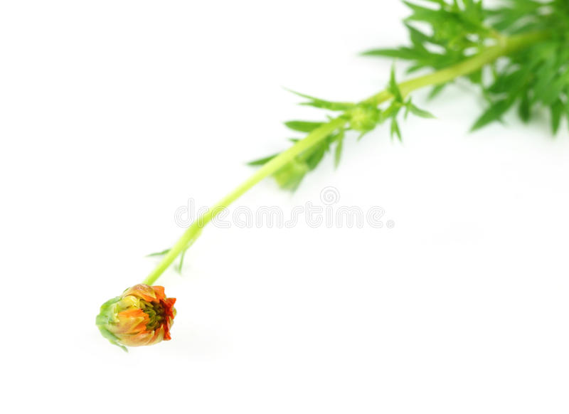 Download Cosmos bud stock image. Image of young, orchid, wild - 26642379