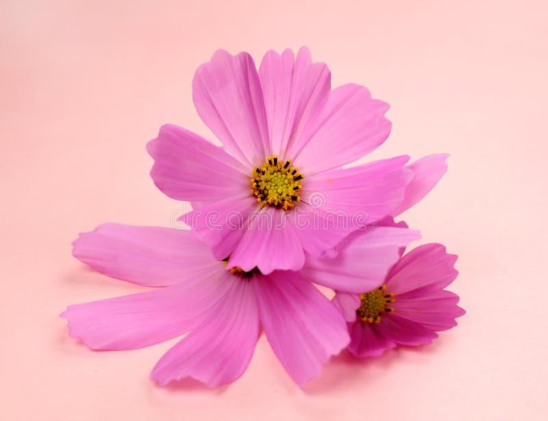 Download Cosmos cor-de-rosa foto de stock. Imagem de cor, stunning - 16862360