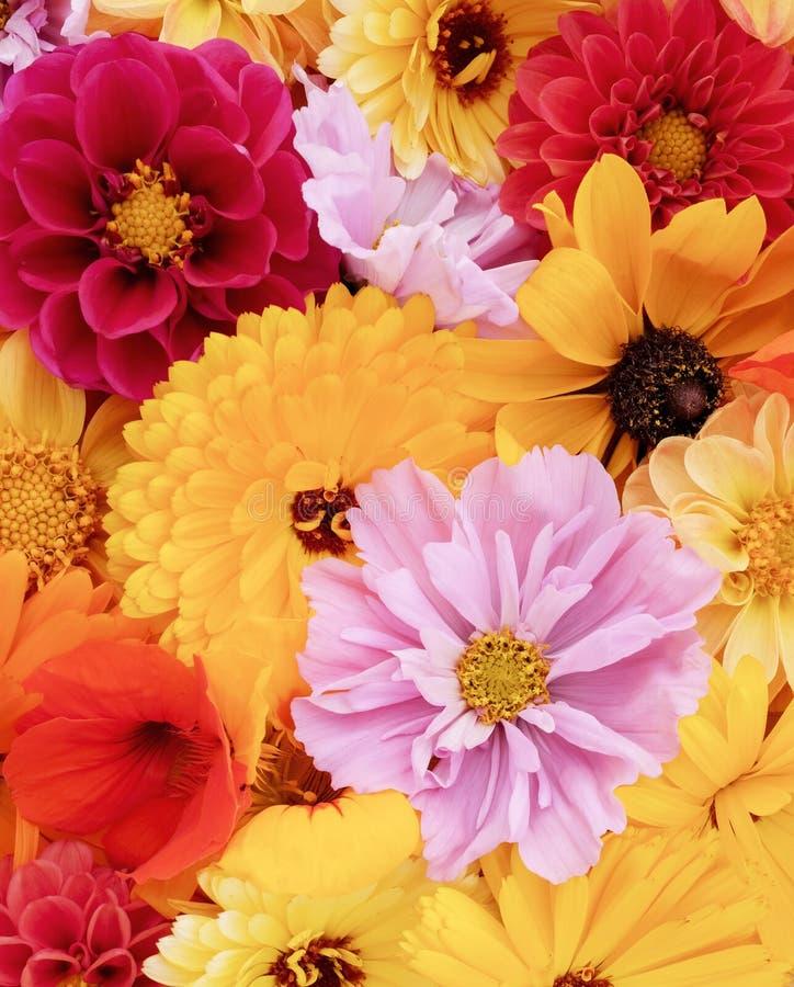 Cosmos cor-de-rosa entre o fundo floral de flores vermelhas e amarelas imagens de stock