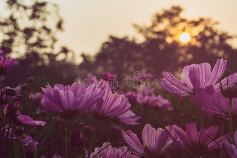 Cosmos cor-de-rosa de florescência no campo no tempo do por do sol fotografia de stock royalty free