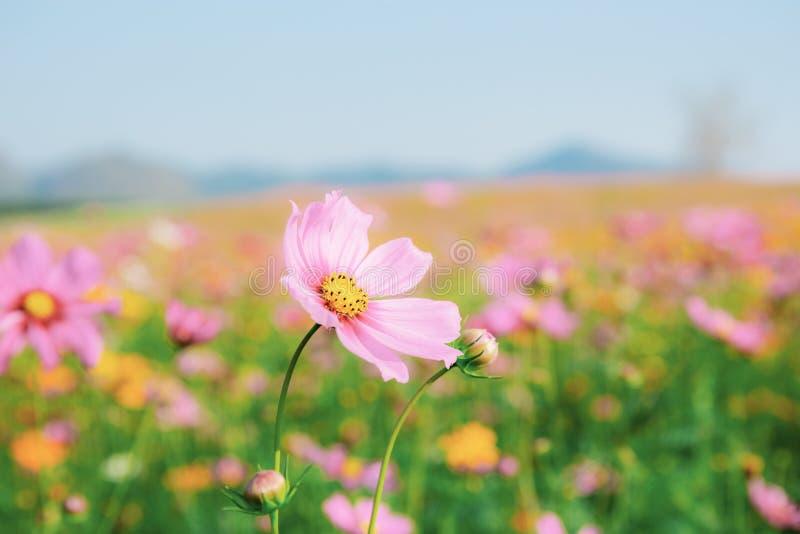 Cosmos cor-de-rosa no campo fotos de stock