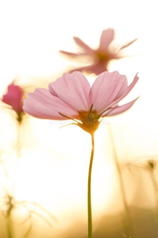 Cosmos cor-de-rosa no campo no por do sol imagem de stock