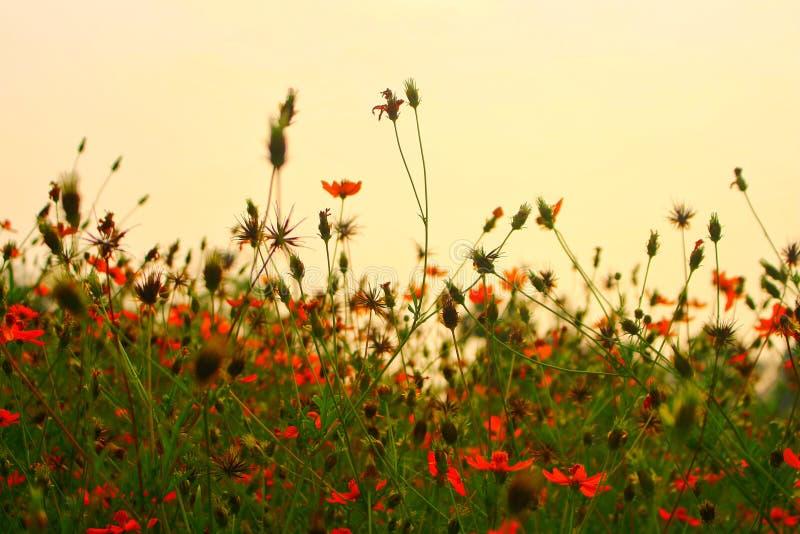 Cosmos de fond de fleur d'été pour la texture images libres de droits