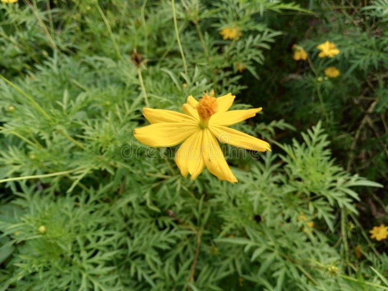 Cosmosdel amarillo de fotografía de archivo libre de regalías