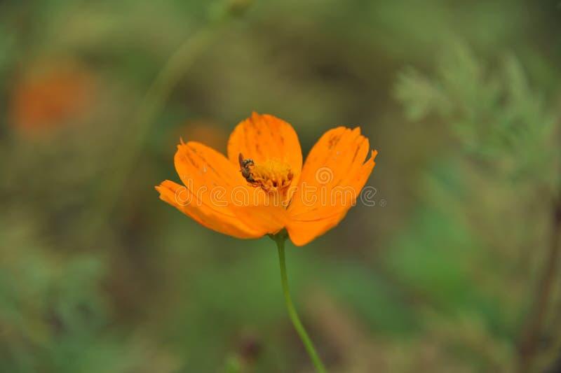 Cosmos et abeille oranges photo libre de droits