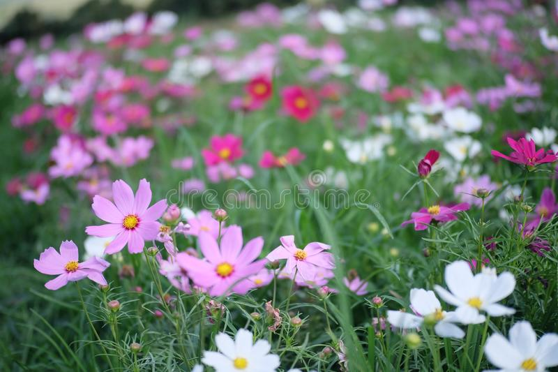 Cosmos field and colorful of cosmos stock photography