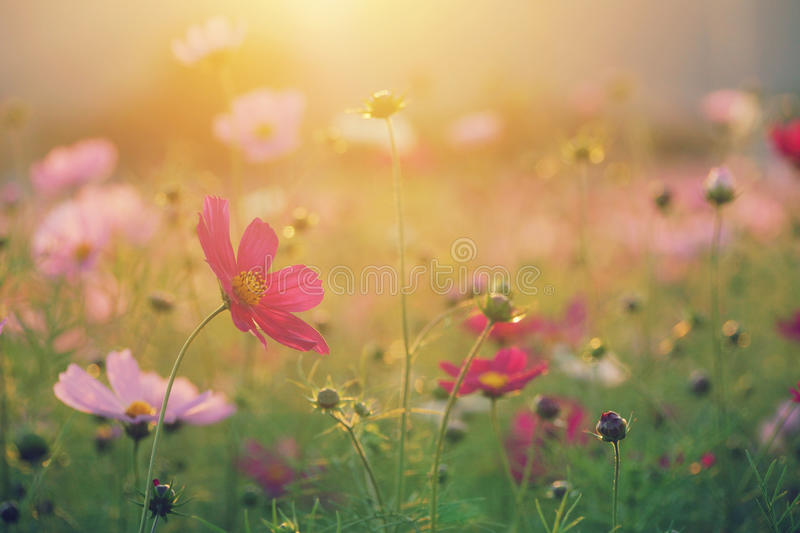 Cosmos field at sunset in autumn royalty free stock photos