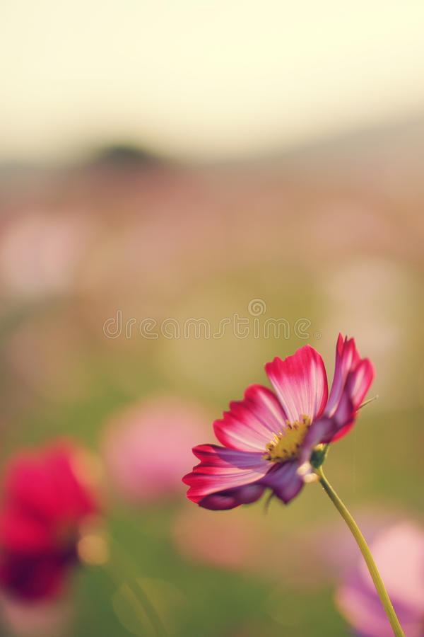 Cosmos field at sunset in autumn royalty free stock images