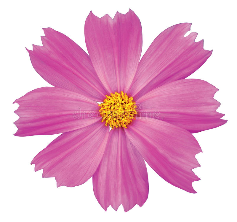 Download Cosmos flower stock image. Image of pink, autumn, coreopsis - 15298153