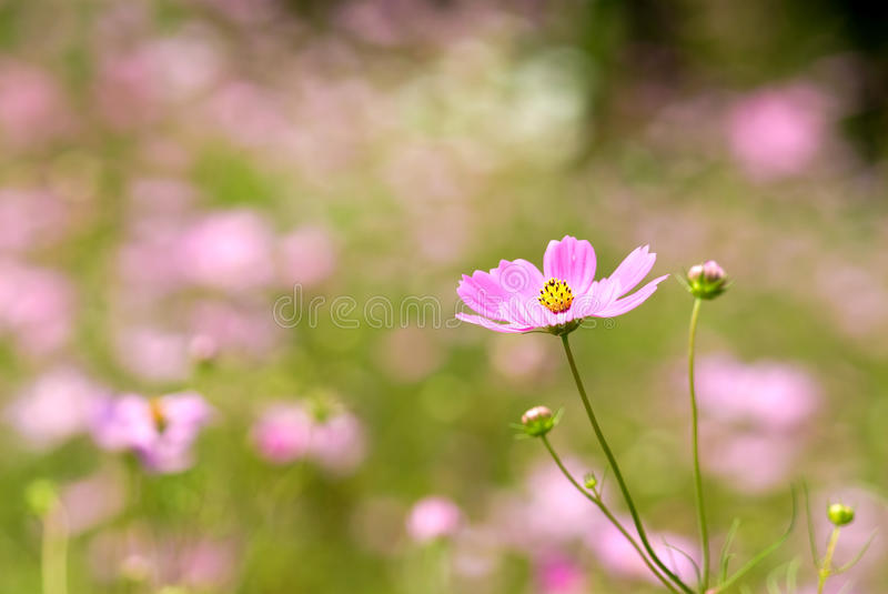 Download Cosmos Flower Stock Photo - Image: 15512570