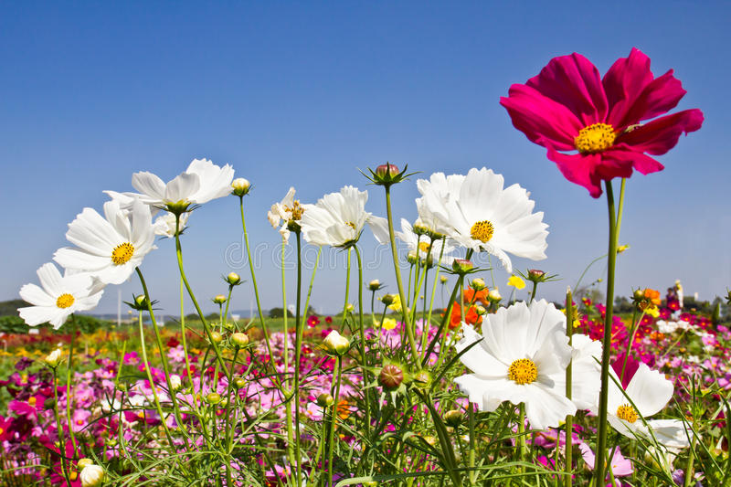 Download Cosmos flower stock photo. Image of herbal, beautiful - 17963784