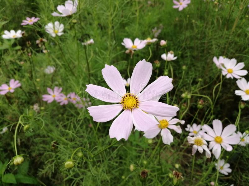 Cosmos flower. Beautiful flower, planet, nature stock photo