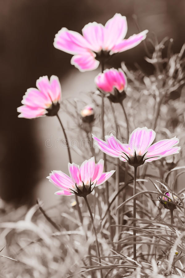 Download cosmos flower in black and white background stock image image of blooming fragrant