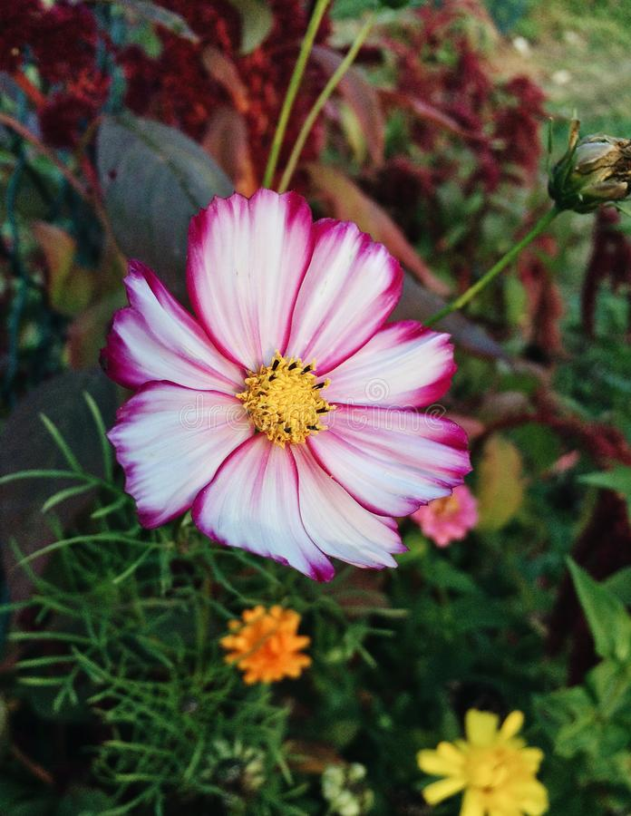 Cosmos Flower blooming in the garden. Beautiful bicolor Cosmos flower blooming in the garden, white petals with purple tips, close up stock image