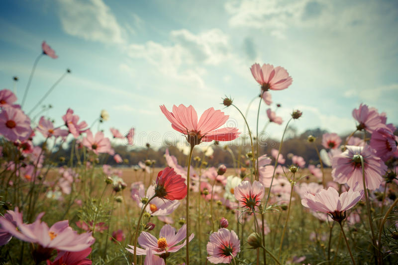 Cosmos flower blossom in garden stock images