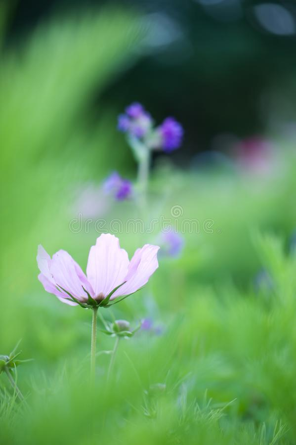Cosmos flower in the garden royalty free stock photography