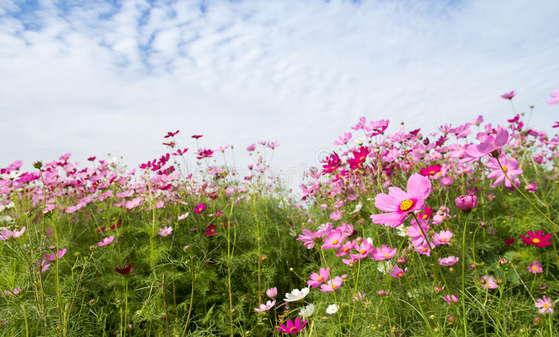 Cosmos Flower field with blue sky,spring season flowers. The Cosmos Flower field with blue sky,spring season flowers stock photo