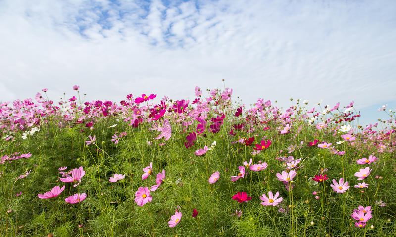 Cosmos flower field with blue skyspring season flowers stock photo download cosmos flower field with blue skyspring season flowers stock photo image of mightylinksfo