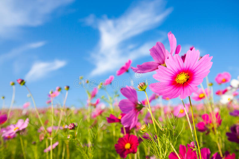 The cosmos flower field stock images