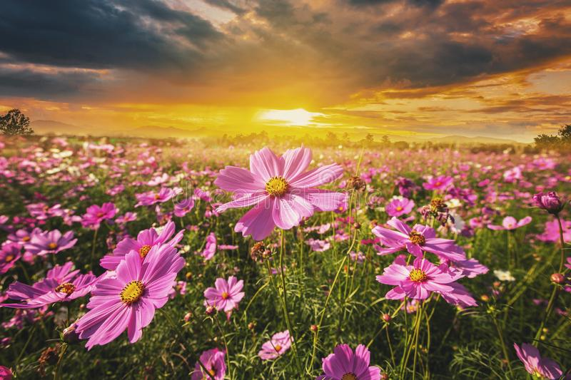 Cosmos flower field meadow and natural scenic landscape sunset royalty free stock photography