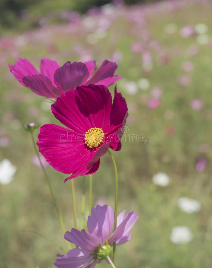 Cosmos flower in the garden stock image